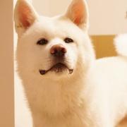 秋田犬シロのブログ