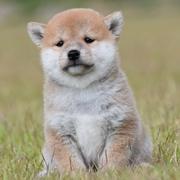 柴犬ブリーダー 富士雅荘