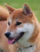 柴犬イチロー日記2