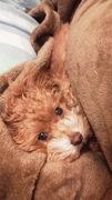 ミックス犬マルプー チャマのひ・と・こ・と