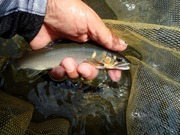 狩野川のおとり屋「ヤマト」の鮎釣り釣果日誌