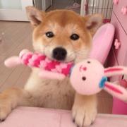 柴犬ココン