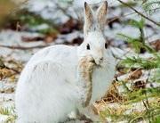 カンジキウサギの夢
