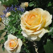 バラと庭木メモ