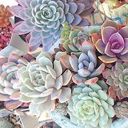Love Succulent
