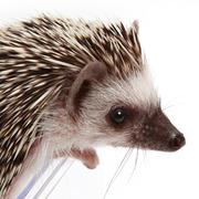 慣れないハリネズミ・うに丸  [ Hedgehog Unimaru ]