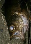 夜の狩人 上越・糸魚川釣行記