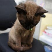 トンキニーズ(猫)のブログ