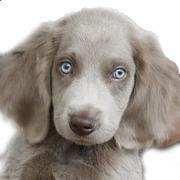 宝石のような青い瞳を持つ犬