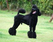 バンコクで犬と暮らす。@ニッポン!