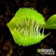 癒しの食虫植物栽培