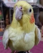 我が家の鳥さん達☆カメペコファミリー♪