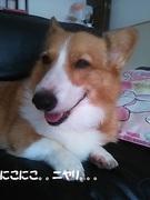 コーギー・豆柴・秋田犬 北海道 犬三匹 多頭飼い日記