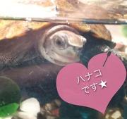 イシガメのハナコちゃん