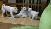 真っ白軍団(秋田犬・柴犬・北海道犬+紀州犬)