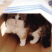 癒しの天使猫 ラガマフィンのニコル