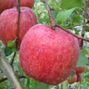 りんごの木の下で