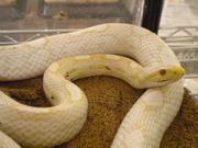 爬虫類総進撃(Animalismのブログ)