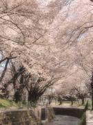 大和市福田 桜の名所 千本桜 和菓子みどりや
