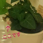 パンダマウスの成長記録