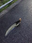 トップでナマズ釣り