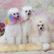 ミニチュア&ミディアムプードル ARCADIA犬舎
