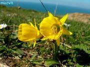 ポルトガルの野の花