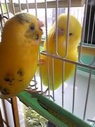 黄色いインコと小心者の飼い主