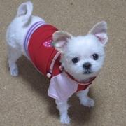 愛犬の免疫介在性血小板減少症についての記録