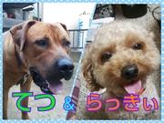 トイプーらっきぃ&土佐犬てつ