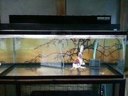 よっちゃんの錦鯉