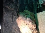 アルマジロトカゲやサンドフィッシュスキンク飼育記録