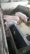 美味しい豚肉を作っていく