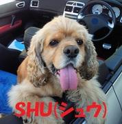アメリカン コッカー スパニエル SHU(シュウ)♂のブログ
