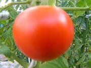 気まぐれ爺じの自己満足家庭菜園&写真