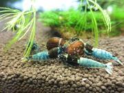 えび飼育ブログ・・・HAL_Shrimp