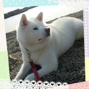 黒柴犬みっきぃとと秋田犬ぷぅのお散歩日記