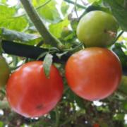 ICHIのカーポート屋根下でトマト自作水耕/周年栽培