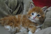 MAINE COON CATTERY MAINE BROS