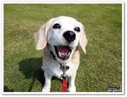 Beagle L 〜9インチのビーグル犬 える〜