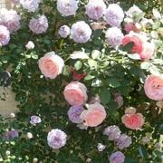 つるバラと宿根草の小さな庭づくり
