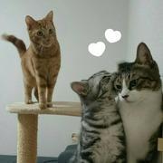 猫初心者2匹の里親に~+アメショBaby