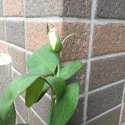 花織のバラ栽培ブログ