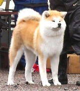 秋田犬の銀治と深月