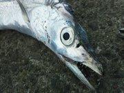 大阪湾を中心とした釣りblog