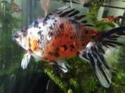 ベランダ金魚