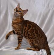 ベンガル猫 Lovers!