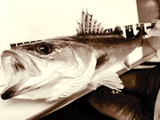 こじこじの釣り日記U。・ェ・。U