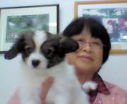 パピヨン豊田アプリコツト犬舎