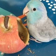 幸せの青い鳥  マメルリハ